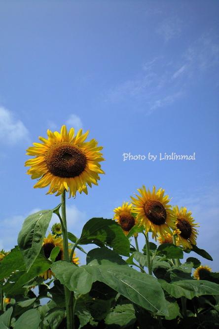 空を向く向日葵-1.jpg