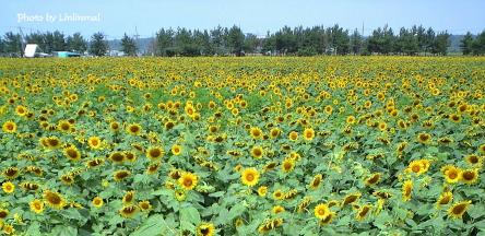 向日葵畑全景-1.jpg