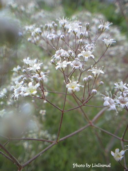 白い小花B-1.jpg